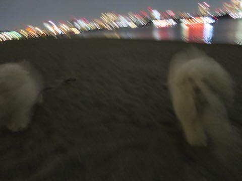 ビションフリーゼこいぬ情報フントヒュッテビションこいぬ画像子犬の社会化ビション赤ちゃんおんなのこかわいいビションフリーゼおとこのこ東京ビション出産情報性格ビション家族募集中_1636