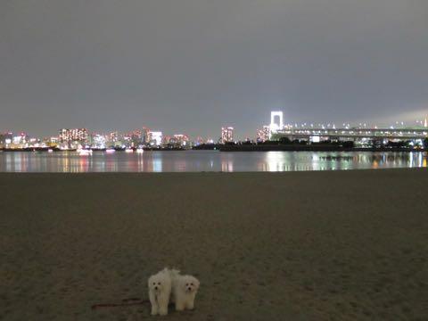 ビションフリーゼこいぬ情報フントヒュッテビションこいぬ画像子犬の社会化ビション赤ちゃんおんなのこかわいいビションフリーゼおとこのこ東京ビション出産情報性格ビション家族募集中_1639