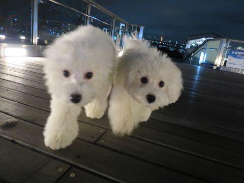 ビションフリーゼこいぬ情報フントヒュッテビションこいぬ画像子犬の社会化ビション赤ちゃんおんなのこかわいいビションフリーゼおとこのこ東京ビション出産情報性格ビション家族募集中_1644