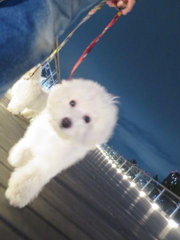 ビションフリーゼこいぬ情報フントヒュッテビションこいぬ画像子犬の社会化ビション赤ちゃんおんなのこかわいいビションフリーゼおとこのこ東京ビション出産情報性格ビション家族募集中_1646