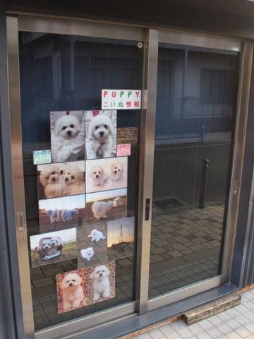 ビションフリーゼこいぬ情報フントヒュッテビションこいぬ画像子犬の社会化ビション赤ちゃんおんなのこかわいいビションフリーゼおとこのこ東京ビション出産情報性格ビション家族募集中_1656