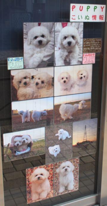 ビションフリーゼこいぬ情報フントヒュッテビションこいぬ画像子犬の社会化ビション赤ちゃんおんなのこかわいいビションフリーゼおとこのこ東京ビション出産情報性格ビション家族募集中_1657