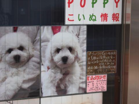 ビションフリーゼこいぬ情報フントヒュッテビションこいぬ画像子犬の社会化ビション赤ちゃんおんなのこかわいいビションフリーゼおとこのこ東京ビション出産情報性格ビション家族募集中_1658