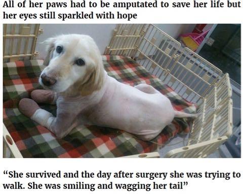 Chi Chi 韓国の食肉処理工場から救出された犬 足先すべて壊死