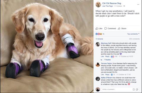 Chi Chi ゴミ箱に捨てられたゴールデン・レトリバー、四肢切断後セラピー犬として活躍(米)