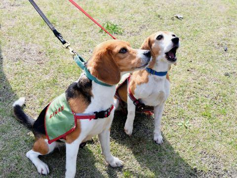 ヒアリくんくん探索犬 台湾から来日、国内でも活躍期待
