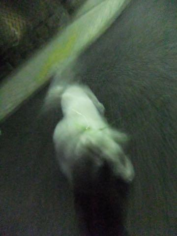 ビションフリーゼトリミング文京区フントヒュッテ駒込hundehutteビション子犬トリミング都内こいぬビションチャンピオン犬血統毛量東京かわいいビション画像_49