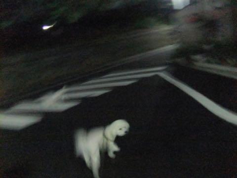 ビションフリーゼトリミング文京区フントヒュッテ駒込hundehutteビション子犬トリミング都内こいぬビションチャンピオン犬血統毛量東京かわいいビション画像_57