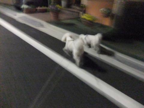 ビションフリーゼトリミング文京区フントヒュッテ駒込hundehutteビション子犬トリミング都内こいぬビションチャンピオン犬血統毛量東京かわいいビション画像_61
