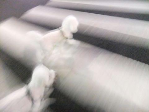 ビションフリーゼトリミング文京区フントヒュッテ駒込hundehutteビション子犬トリミング都内こいぬビションチャンピオン犬血統毛量東京かわいいビション画像_66
