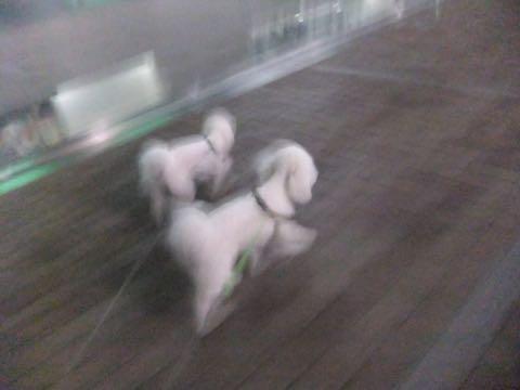 ビションフリーゼトリミング文京区フントヒュッテ駒込hundehutteビション子犬トリミング都内こいぬビションチャンピオン犬血統毛量東京かわいいビション画像_73