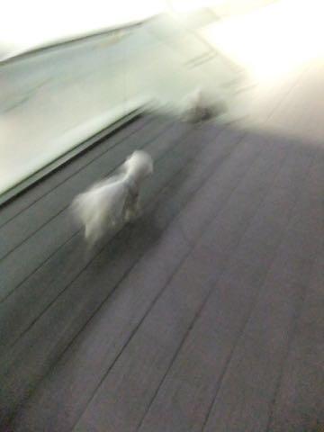 ビションフリーゼトリミング文京区フントヒュッテ駒込hundehutteビション子犬トリミング都内こいぬビションチャンピオン犬血統毛量東京かわいいビション画像_75