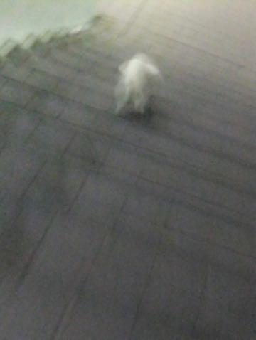 ビションフリーゼトリミング文京区フントヒュッテ駒込hundehutteビション子犬トリミング都内こいぬビションチャンピオン犬血統毛量東京かわいいビション画像_76
