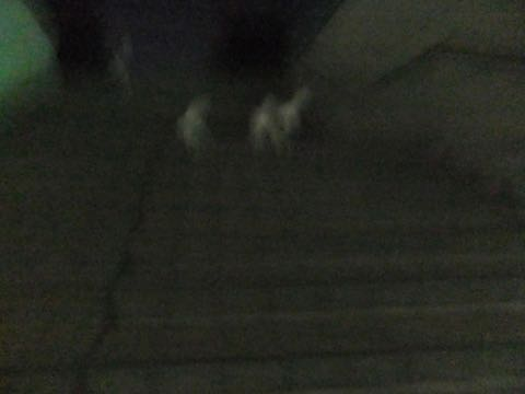 ビションフリーゼトリミング文京区フントヒュッテ駒込hundehutteビション子犬トリミング都内こいぬビションチャンピオン犬血統毛量東京かわいいビション画像_77