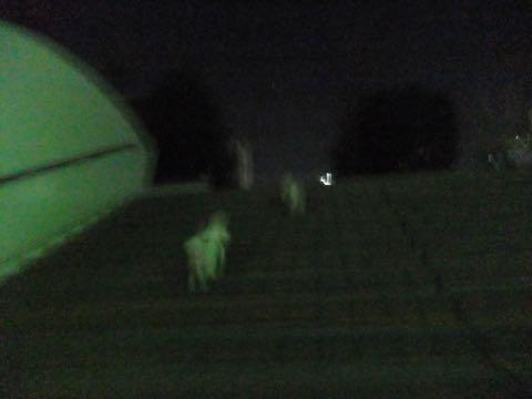 ビションフリーゼトリミング文京区フントヒュッテ駒込hundehutteビション子犬トリミング都内こいぬビションチャンピオン犬血統毛量東京かわいいビション画像_78