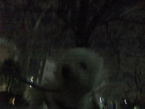 ビションフリーゼトリミング文京区フントヒュッテ駒込hundehutteビション子犬トリミング都内こいぬビションチャンピオン犬血統毛量東京かわいいビション画像_82