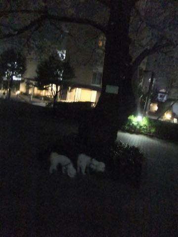 ビションフリーゼトリミング文京区フントヒュッテ駒込hundehutteビション子犬トリミング都内こいぬビションチャンピオン犬血統毛量東京かわいいビション画像_86