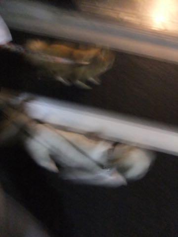 ポメラニアントリミング画像ポメサマーカットフントヒュッテ文京区ペットホテル都内hundehutte東京ドッグホテル駒込犬ホテル料金_137