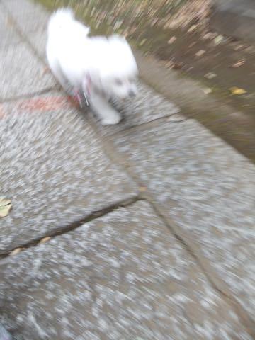 ビションフリーゼトリミング文京区フントヒュッテ駒込ビションフリーゼテディベアカット画像犬カットモデル都内ビショントリミングサロン東京hundehutte_117