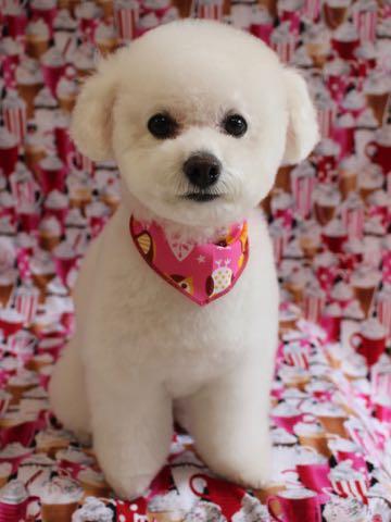 ビションフリーゼトリミング文京区フントヒュッテ駒込ビションフリーゼテディベアカット画像犬カットモデル都内ビショントリミングサロン東京hundehutte_135