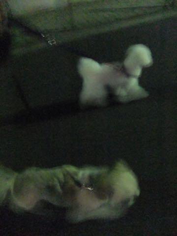 ビションフリーゼトリミング文京区フントヒュッテ駒込ビションフリーゼテディベアカット画像犬カットモデル都内ビショントリミングサロン東京hundehutte_142