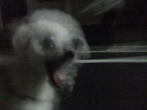 ビションフリーゼトリミング文京区フントヒュッテ駒込ビションフリーゼテディベアカット画像犬カットモデル都内ビショントリミングサロン東京hundehutte_165
