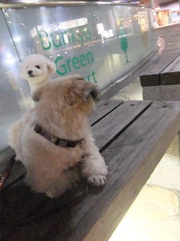 ビションフリーゼトリミング文京区フントヒュッテ駒込ビションフリーゼテディベアカット画像犬カットモデル都内ビショントリミングサロン東京hundehutte_176