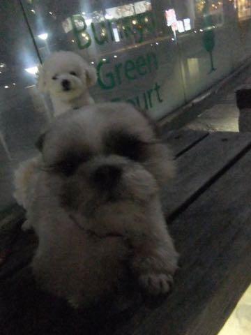 ビションフリーゼトリミング文京区フントヒュッテ駒込ビションフリーゼテディベアカット画像犬カットモデル都内ビショントリミングサロン東京hundehutte_177