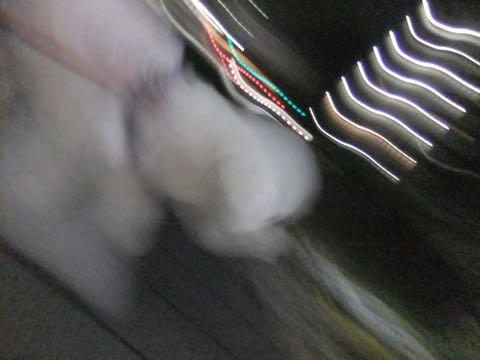 ビションフリーゼトリミング文京区フントヒュッテ駒込ビションフリーゼテディベアカット画像犬カットモデル都内ビショントリミングサロン東京hundehutte_180
