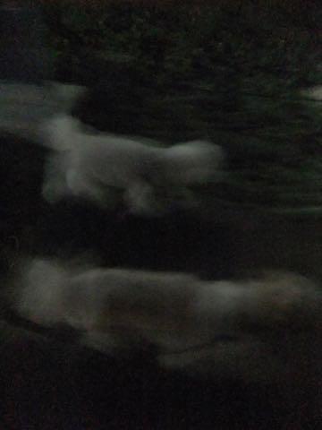 ビションフリーゼトリミング文京区フントヒュッテ駒込ビションフリーゼテディベアカット画像犬カットモデル都内ビショントリミングサロン東京hundehutte_182