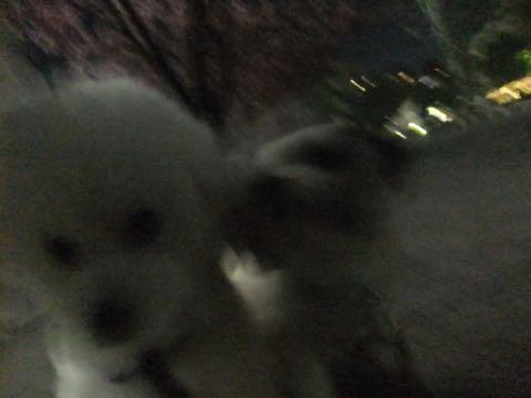ビションフリーゼトリミング文京区フントヒュッテ駒込ビションフリーゼテディベアカット画像犬カットモデル都内ビショントリミングサロン東京hundehutte_189