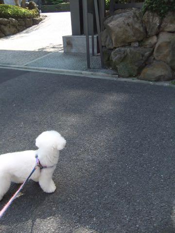 ビションフリーゼトリミング文京区フントヒュッテ駒込ビションフリーゼテディベアカット画像犬カットモデル都内ビショントリミングサロン東京hundehutte_208