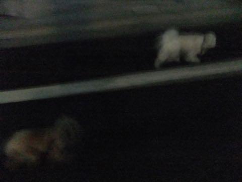 トイ・プードル極小サイズティーカッププードル東京トイプードルトリミング画像フントヒュッテ駒込ビションフリーゼトリミング文京区ペットホテル都内_359