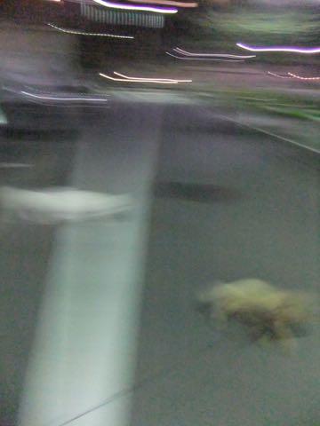 トイ・プードル極小サイズティーカッププードル東京トイプードルトリミング画像フントヒュッテ駒込ビションフリーゼトリミング文京区ペットホテル都内_360