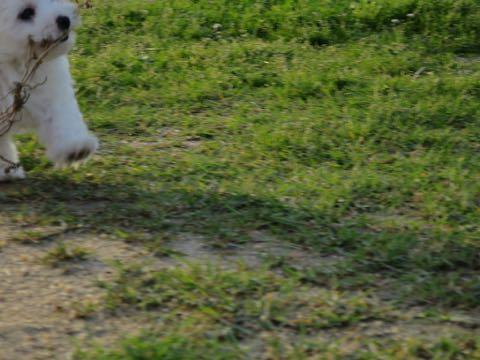 ビションフリーゼこいぬ情報フントヒュッテビションこいぬ画像子犬の社会化ビション赤ちゃんアメリカンチャンピオン直子かわいいビションフリーゼ東京ビション出産情報性格ビション家族募集中_370.jpg