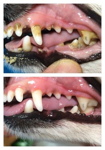 マジックゼオプロ犬の歯石取りゼオライト効果歯垢歯石除去犬の歯磨き歯周病予防犬のデンタルケア画像犬の歯磨きやり方 MAGIC ZEO PRO 薬品は一切使含まれておりません_3.jpg