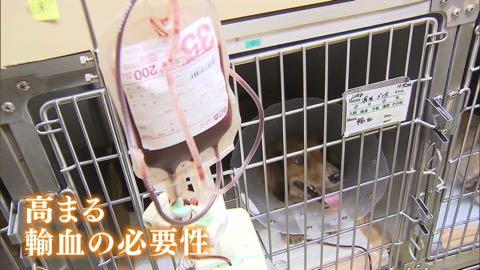 """【特集】高まる犬の""""輸血""""需要 「供血犬」が救う命_1.jpg"""