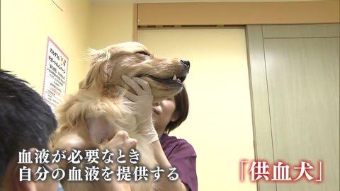 """【特集】高まる犬の""""輸血""""需要 「供血犬」が救う命_2.jpg"""