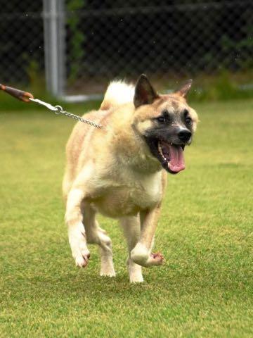 <警察犬>「タック」が挑戦、捨て犬の希望の星に 次こそは.jpg