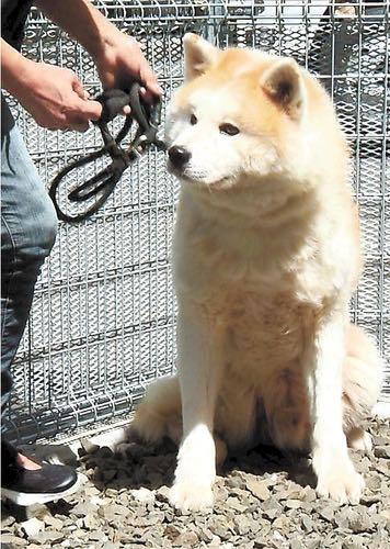 秋田犬の「疾風(はやて)」飼い主募集中 保護団体、殺処分ゼロへの取り組み.jpg