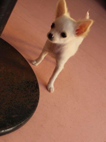 チワワこいぬ情報フントヒュッテチワワこいぬ画像子犬の社会化チワワ赤ちゃんかわいいチワワ飼い方おとなしい飼いやすいおりこうチワワ出産情報性格チワワ家族募集中_9.jpg