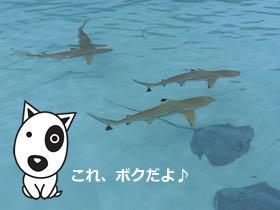 BokBokボクボク犬用おやつ無添加無着色サメ効果グルコサミンコンドロイチンコラーゲンカルシウム関節皮膚鮫画像_7.jpg