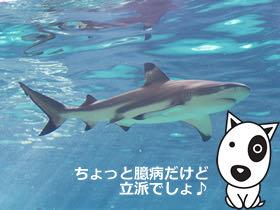 BokBokボクボク犬用おやつ無添加無着色サメ効果グルコサミンコンドロイチンコラーゲンカルシウム関節皮膚鮫画像_9.jpg