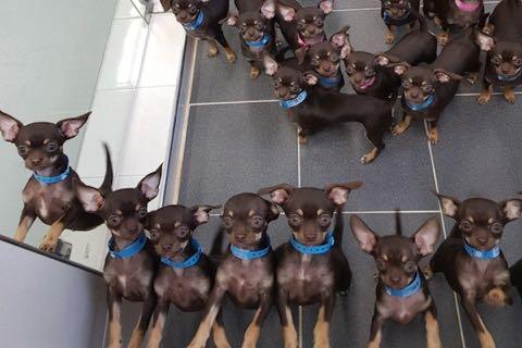 クローン技術で49匹に複製された犬、ギネスに認定される.jpg