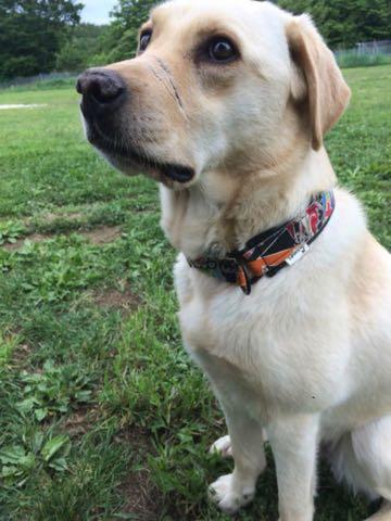 虐待されても人間が好き…青森の被虐待犬「ナッツ」が警察犬に、鼻の傷痕が問いかけるもの_1.jpg