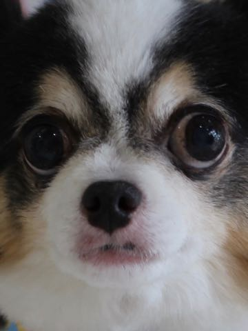 チワワトリミング文京区フントヒュッテ駒込hundehutteチワワトリミングサマーカット画像チワワトリミングサロン都内チワワトリミング料金東京バースデー犬_40.jpg