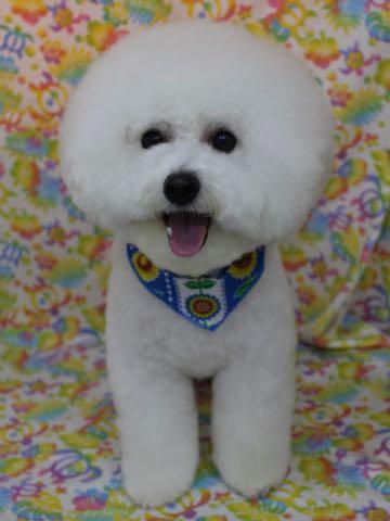 ビションフリーゼトリミング文京区フントヒュッテ駒込ビションカットスタイルモデル犬画像ビションフリーゼ頭丸く都内トリミングサロンビション東京hundehutte_30.jpg
