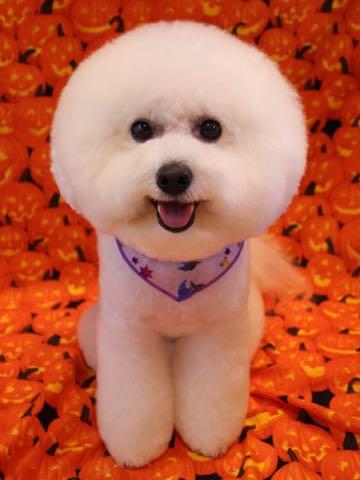 ビションフリーゼトリミング文京区フントヒュッテ駒込ビションカットスタイルモデル犬画像ビションフリーゼ頭丸く都内トリミングサロンビション東京hundehutte_32.jpg