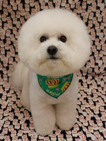 ビションフリーゼトリミング文京区フントヒュッテ駒込ビションカットスタイルモデル犬画像ビションフリーゼ頭丸く都内トリミングサロンビション東京hundehutte_37.jpg