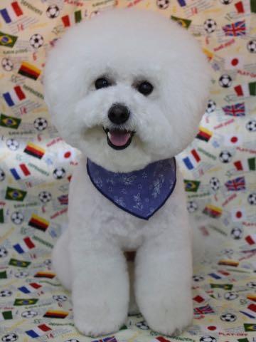 ビションフリーゼトリミング文京区フントヒュッテ駒込ビションカットスタイルモデル犬画像ビションフリーゼ頭丸く都内トリミングサロンビション東京hundehutte_45.jpg